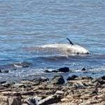 Gran operativo por la aparición de una ballena muerta en Vicente López